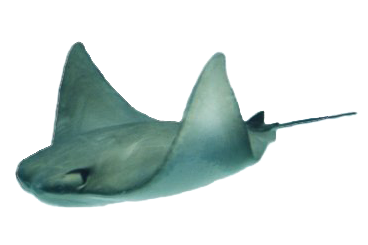 Breakfast Point - Stingray PNG HD