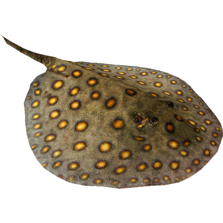 Ocellate River Stingray (Maximilian).png - Stingray PNG HD