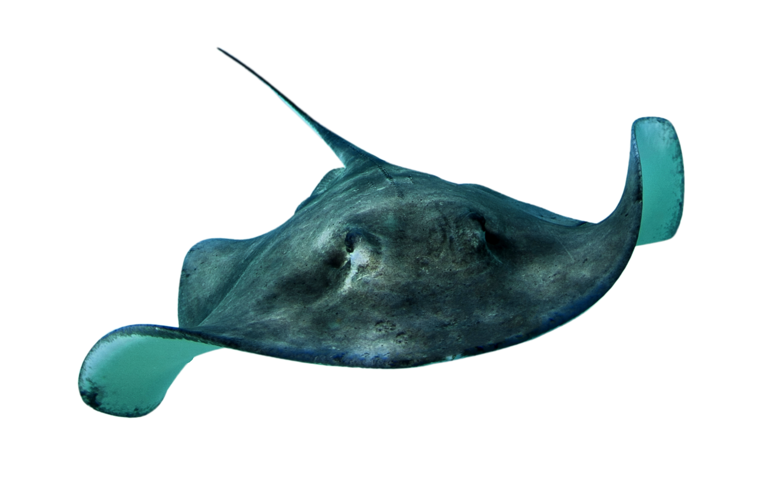 Stingray PNG - Stingray PNG HD
