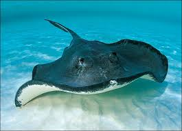 stingray.png - Stingray PNG HD