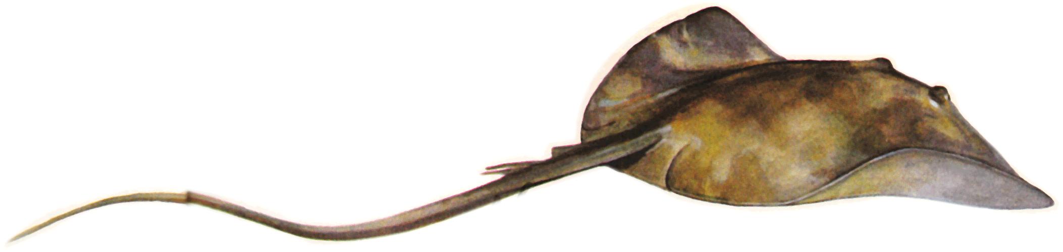 Stingray PNG - 75545