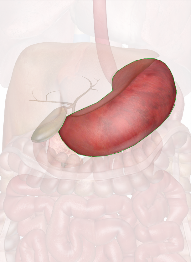 Click To View Large Image - Stomach PNG HD