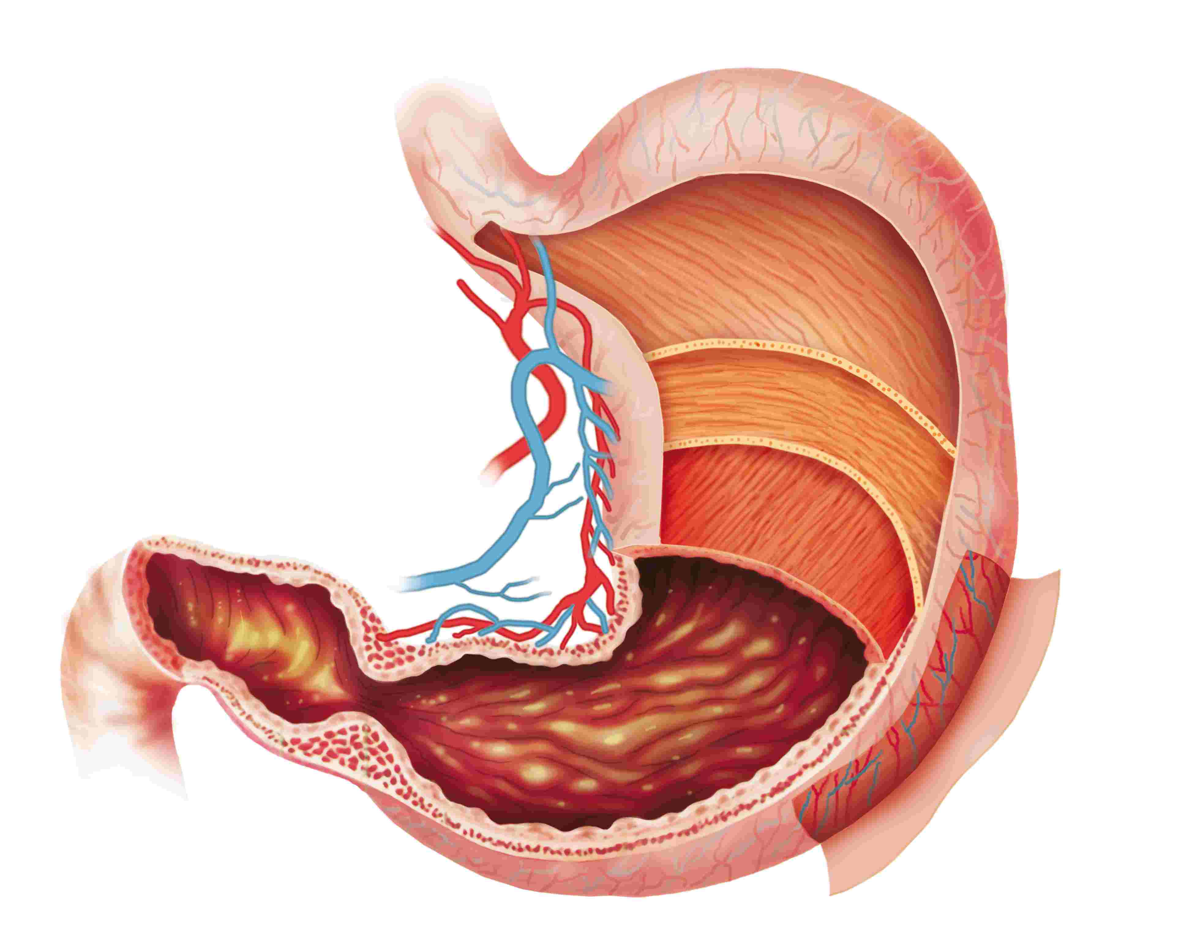 Stomach PNG HD - 128987