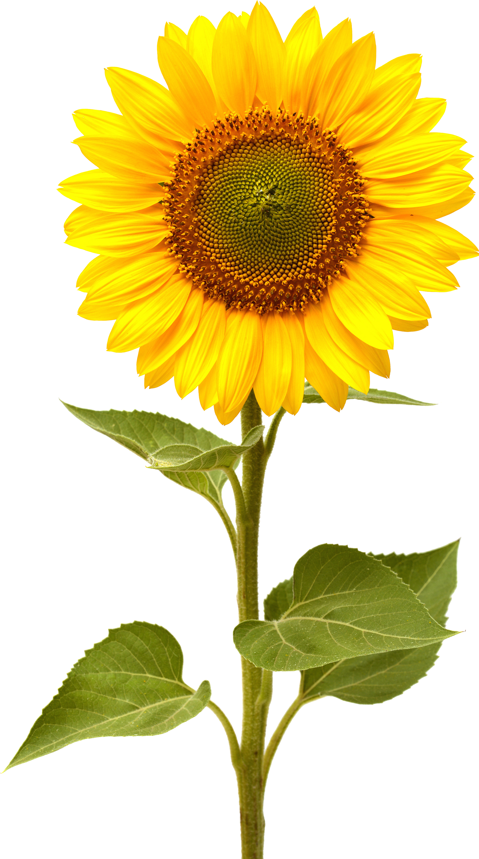 Sunflower HD PNG Transparent Sunflower HD.PNG Images ...
