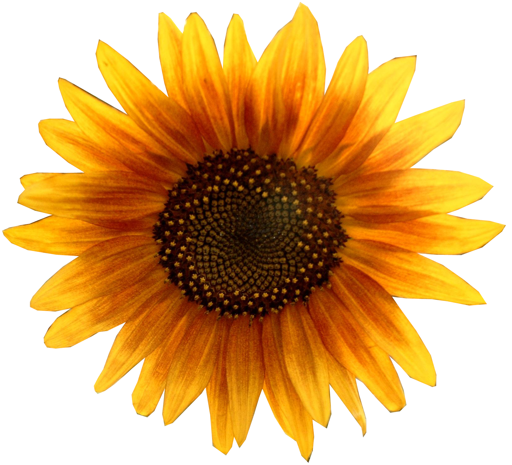 Sunflowers PNG - 6595