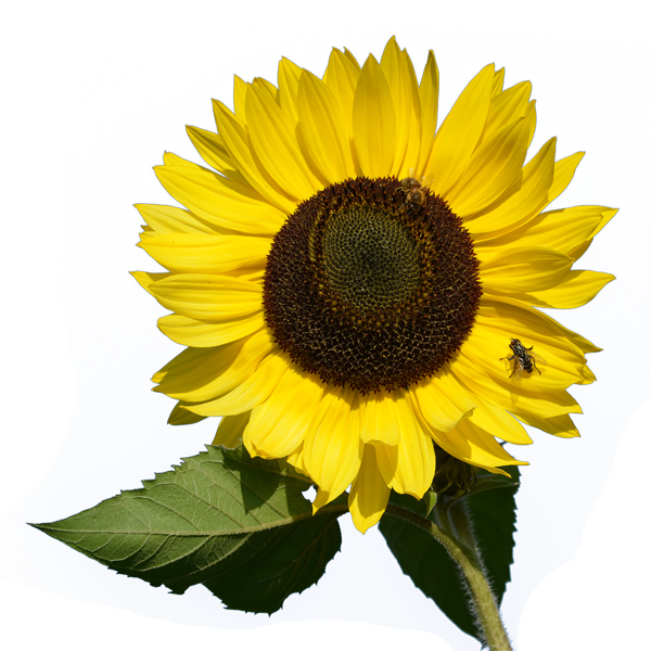 Sunflowers PNG - 6599