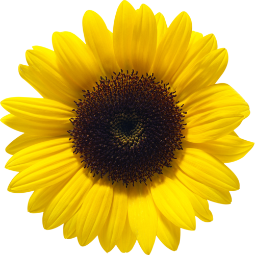 Sunflowers PNG - 6589