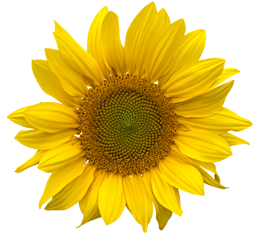 Sunflowers PNG - 6592