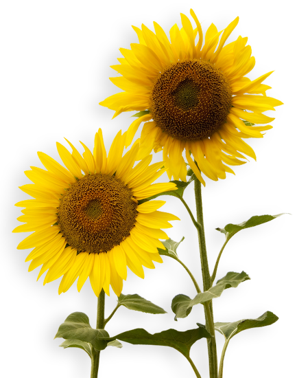 Sunflowers PNG - 6593