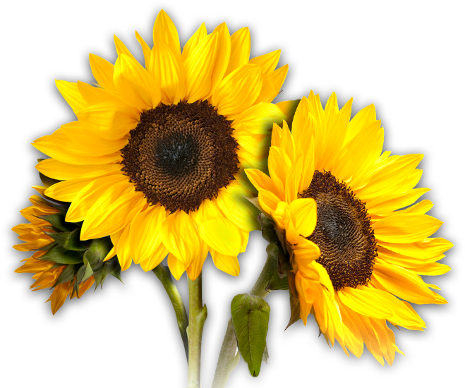 Sunflowers PNG - 6588