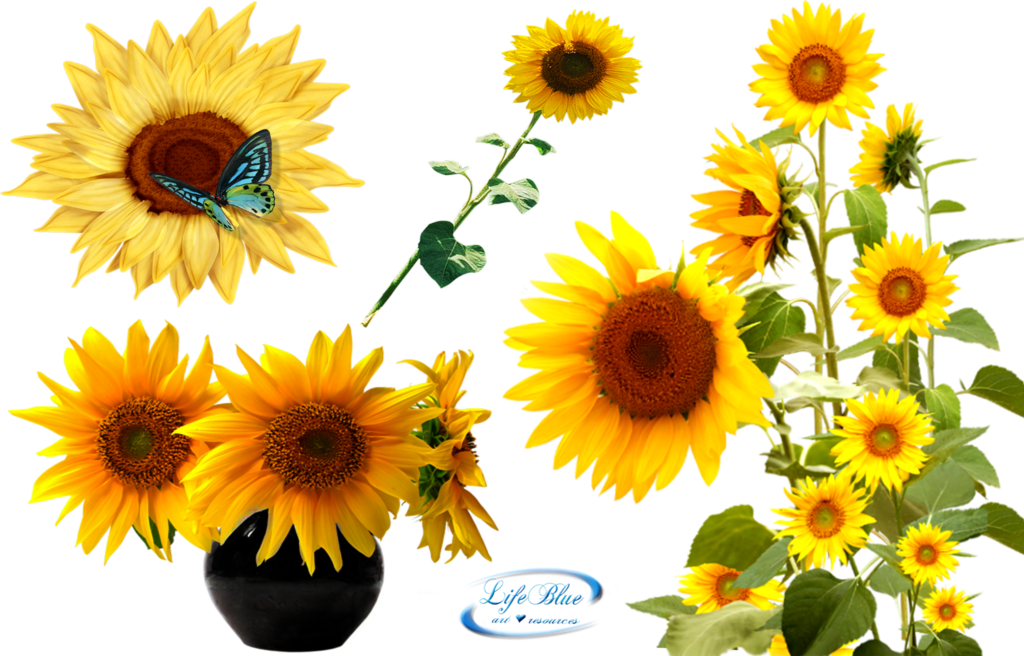 Sunflowers - PNG by lifeblue on DeviantArt - Sunflowers PNG