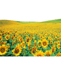 Sunflowers PNG - 6600