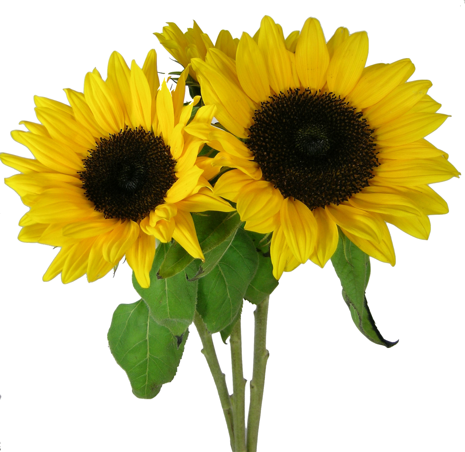 Sunflowers PNG - 6586