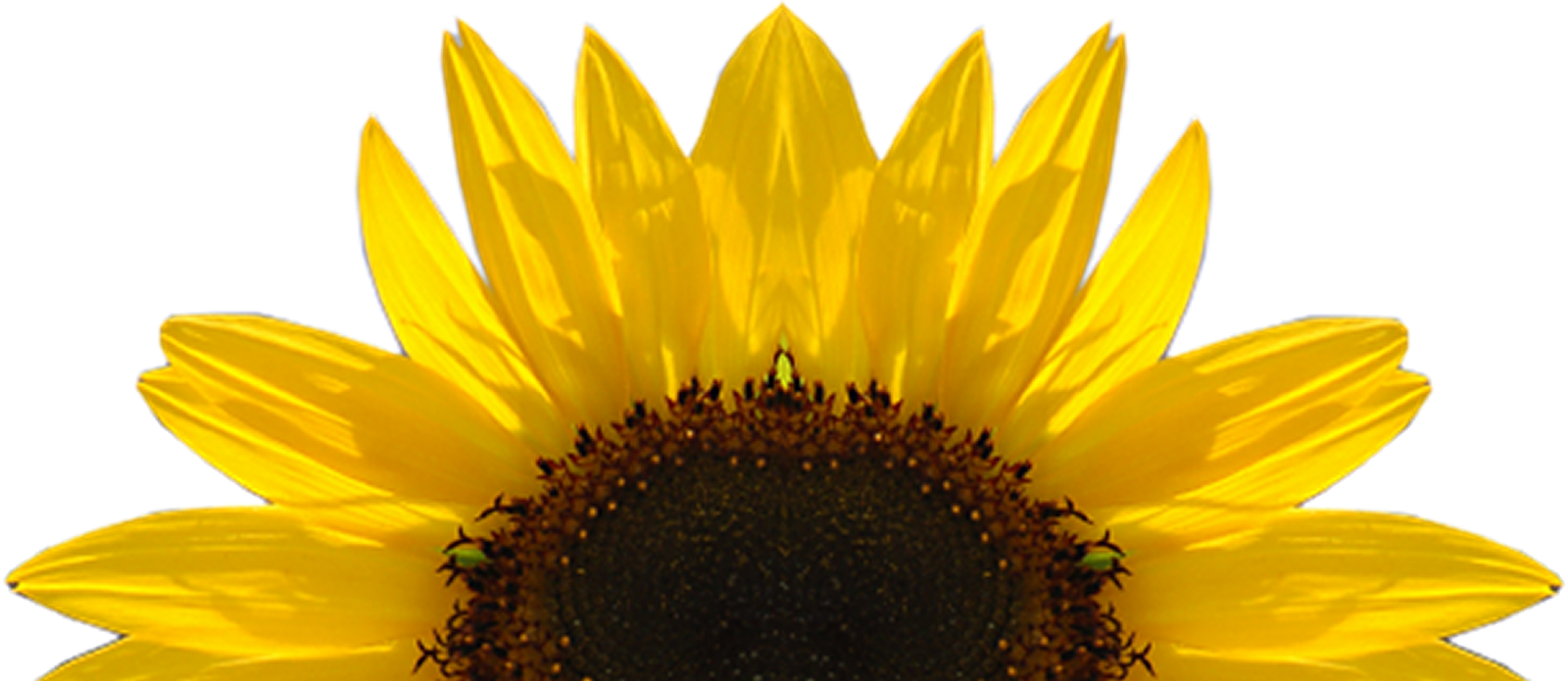 Sunflowers PNG - 6587
