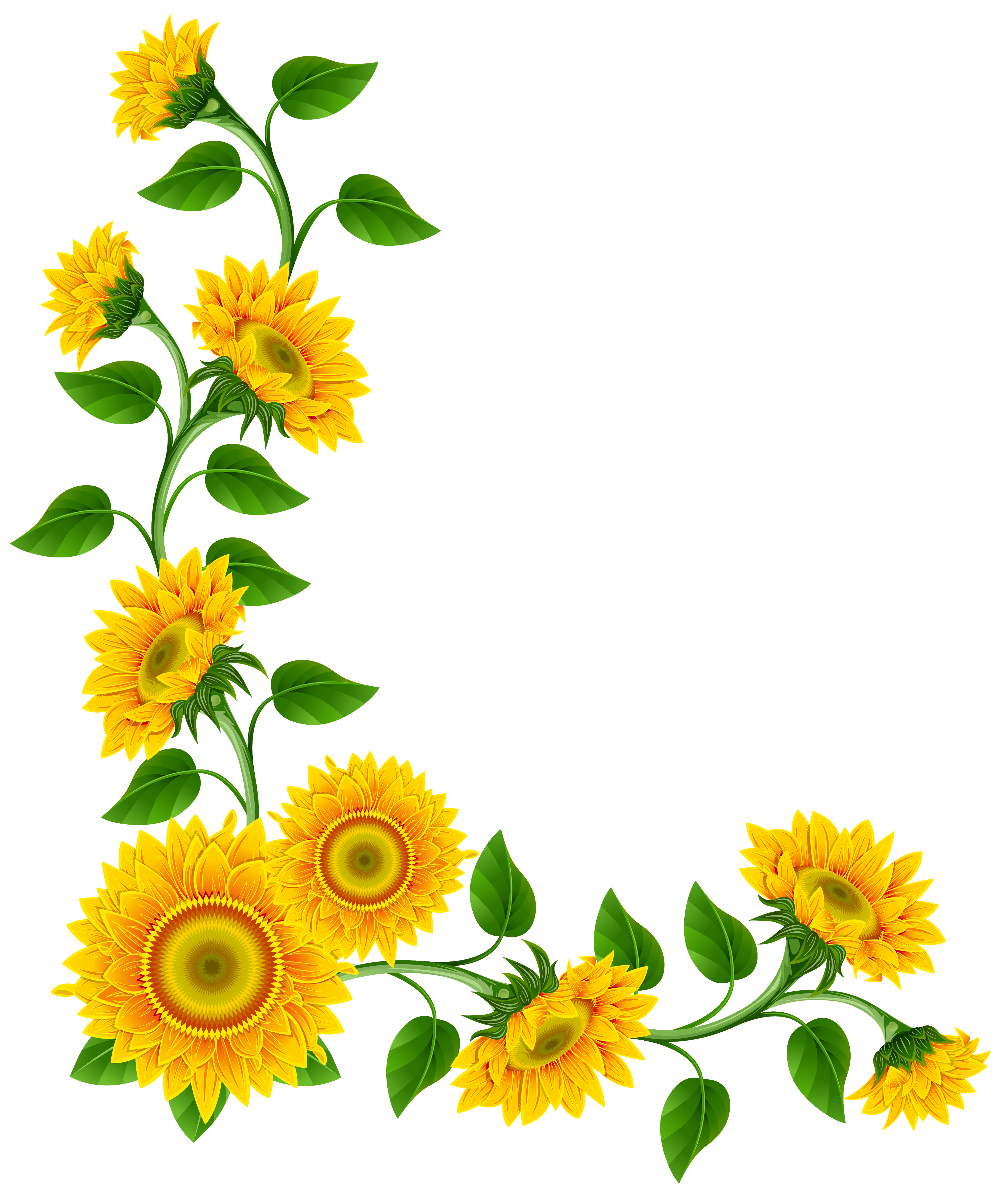 Sunflowers PNG - 6601