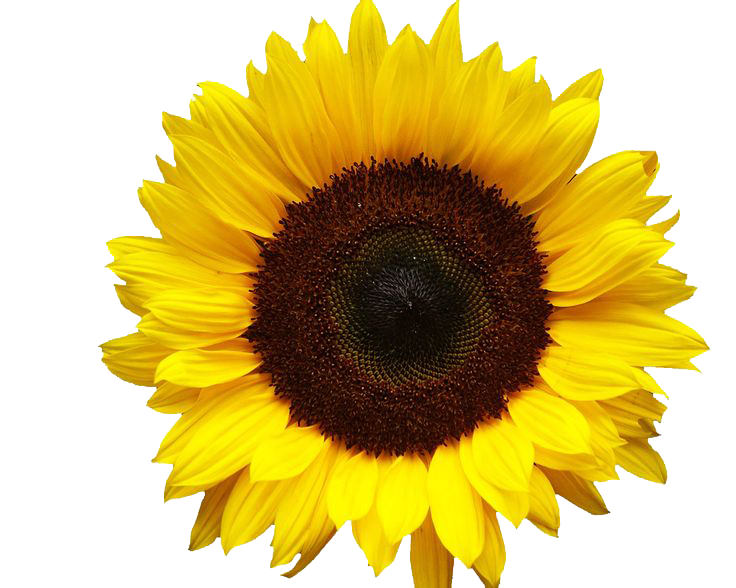 Sunflowers PNG - 6585