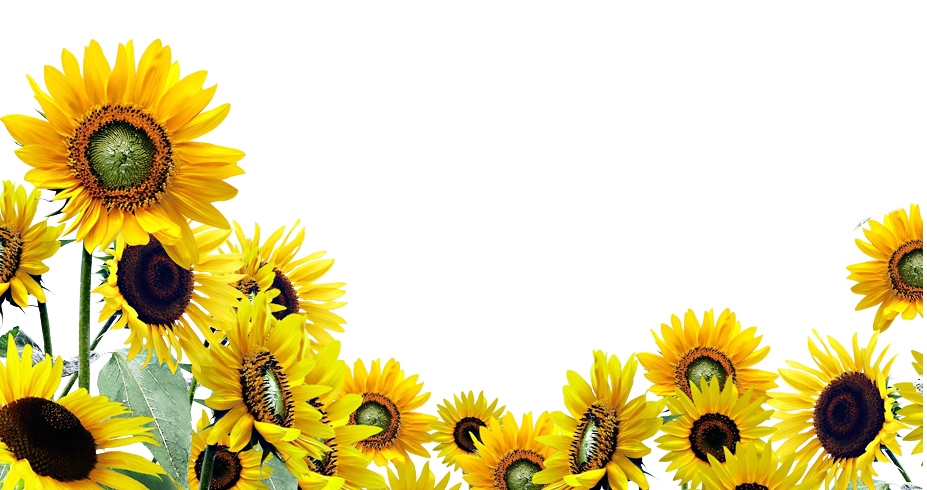 Sunflowers PNG - 6602