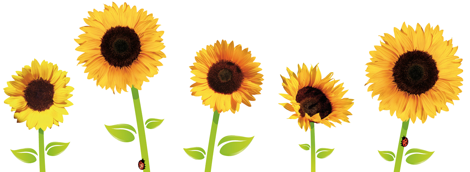 Sunflowers Transparent PNG Image - Sunflowers PNG