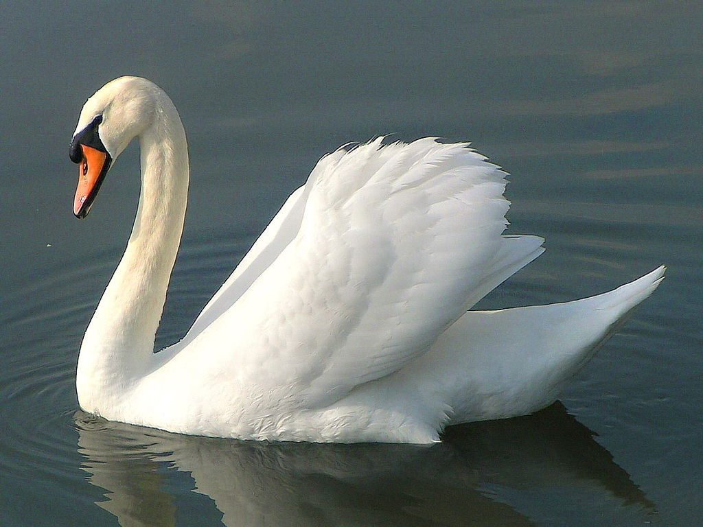c8e2048.png - Swan PNG