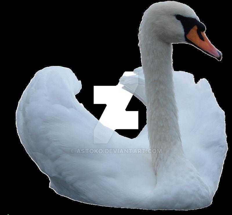 Swan 2 png ~ STOCK by AStoKo by AStoKo PlusPng.com  - Swan PNG