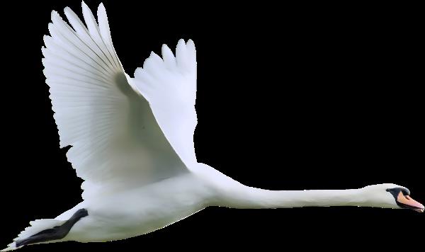 Swan PNG - 21494