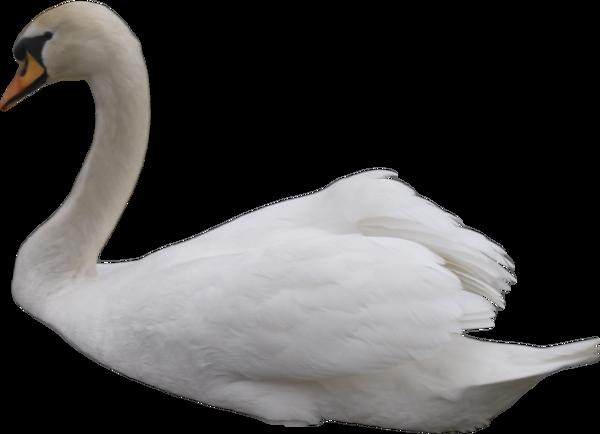 Swan PNG by IvaxXx - Swan PNG