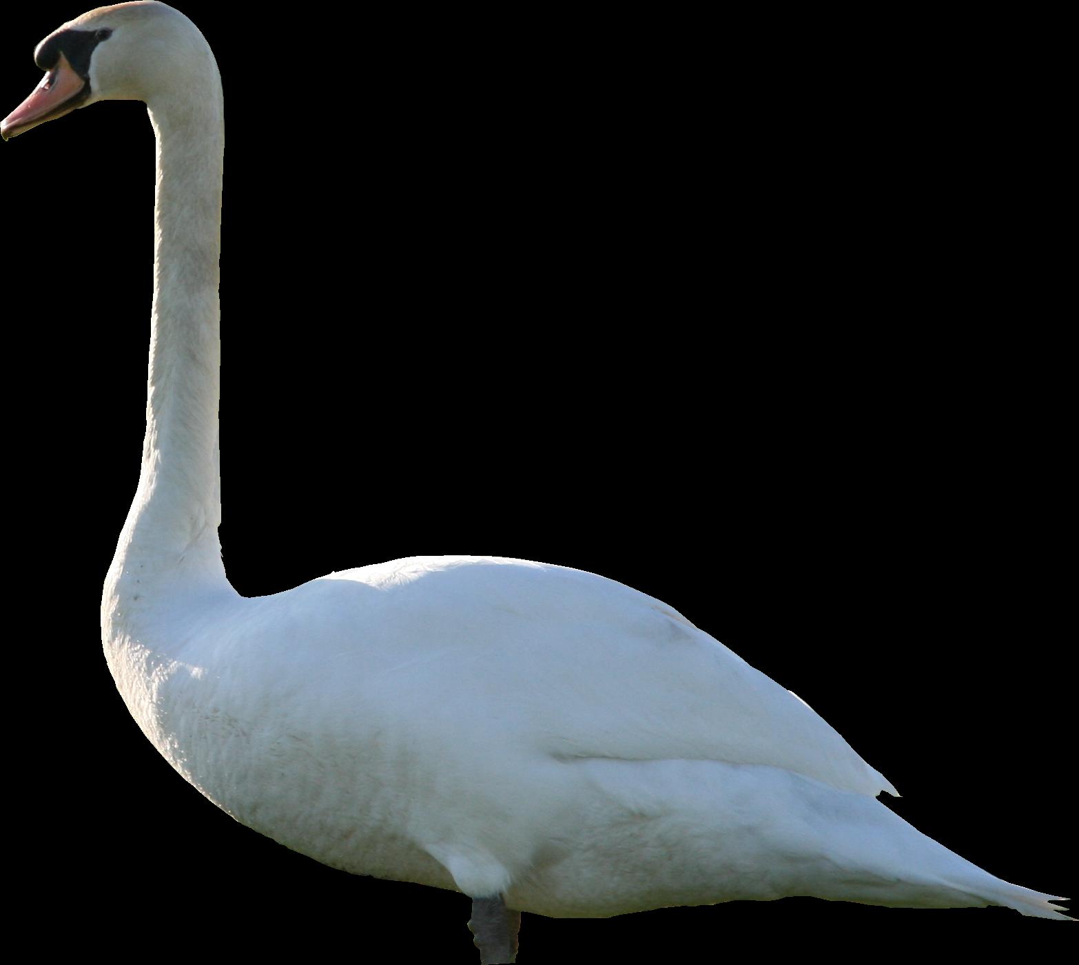 Swan PNG Texture - Swan PNG