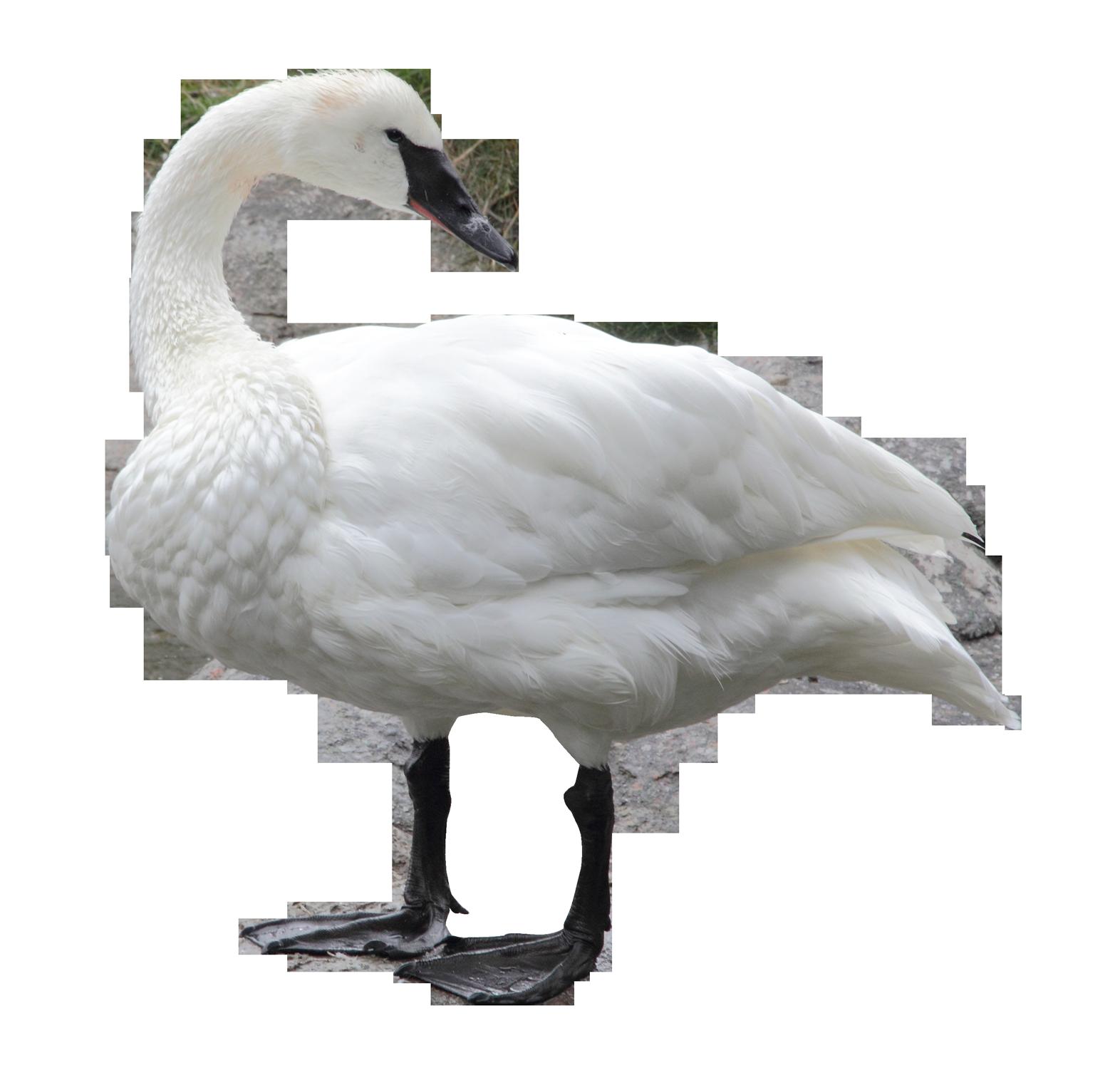 Swan PNG Transparent Image - Swan PNG