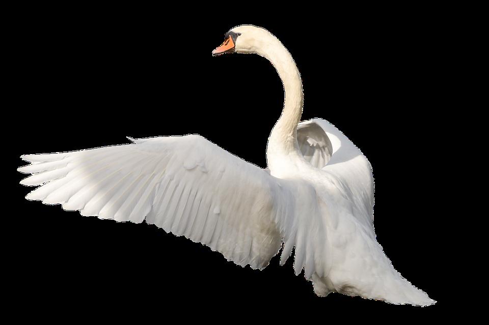 Swan PNG - 21495