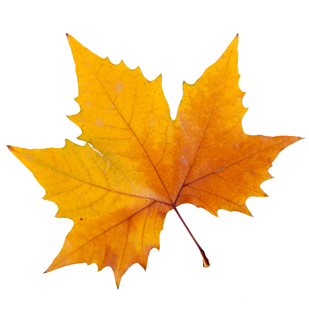 Collection Of Sycamore Tree Leaf PNG.