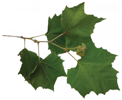 Sycamore Tree Leaf PNG-PlusPNG.com-480 - Sycamore Tree Leaf PNG