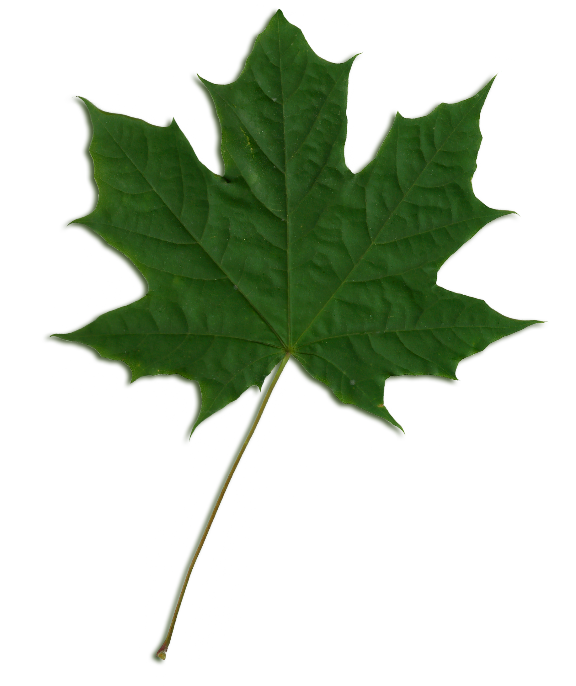 File:Acer scanned leaf.png - Sycamore Tree Leaf PNG