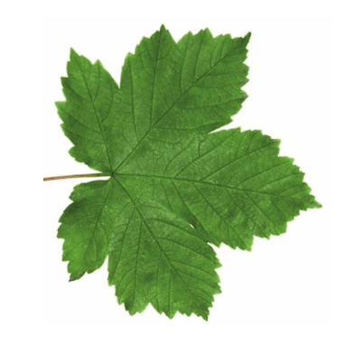 Original Sycamore Leaf. zoom Zoom image · Tree Label Fixings - Sycamore Tree Leaf PNG