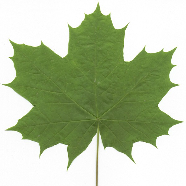 pin Maple Leaf clipart big leaf #12 - Sycamore Tree Leaf PNG
