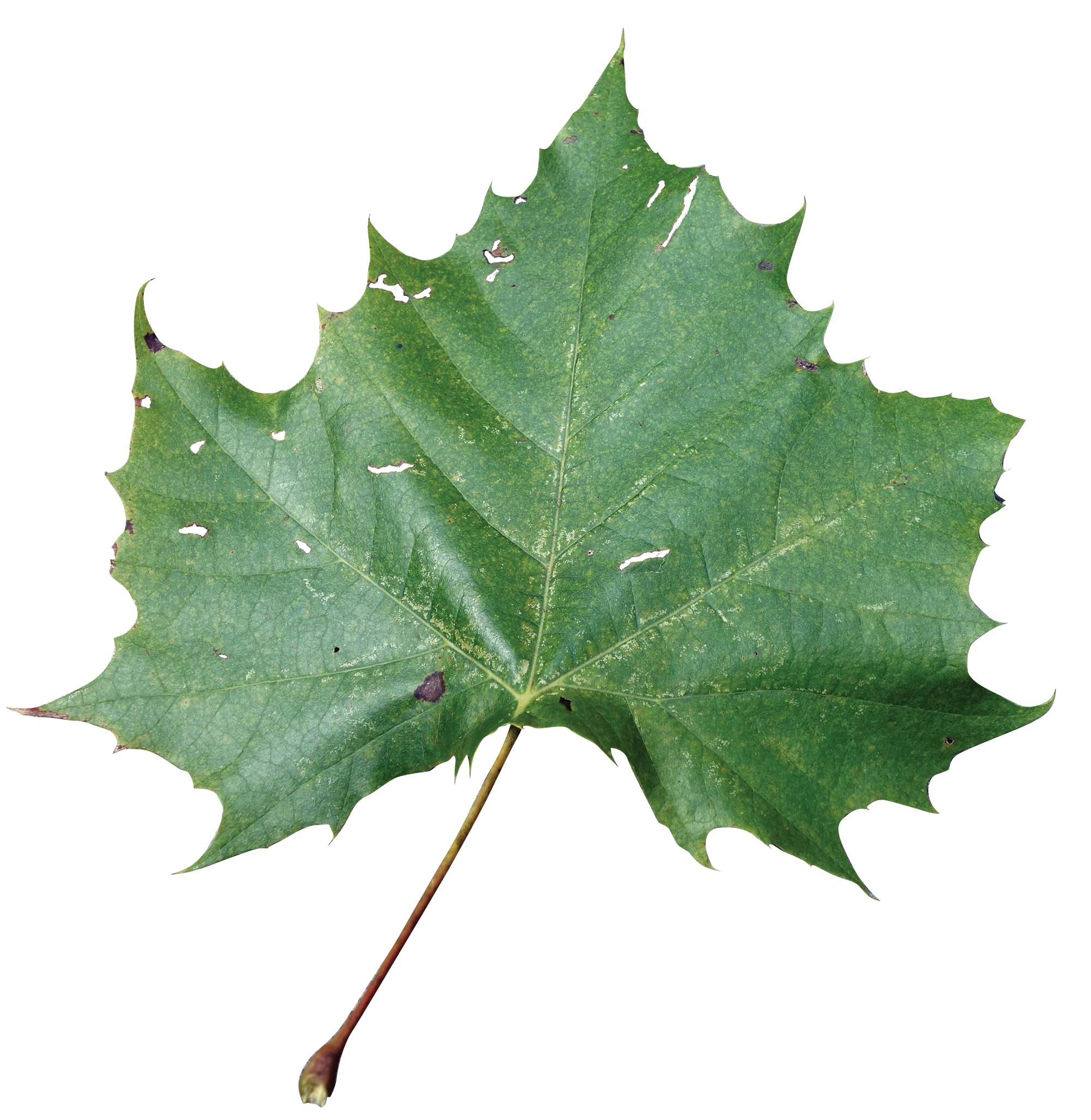 Simple - Sycamore Tree Leaf PNG
