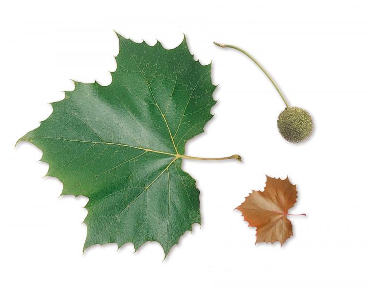 Sycamore leaf - Sycamore Tree Leaf PNG