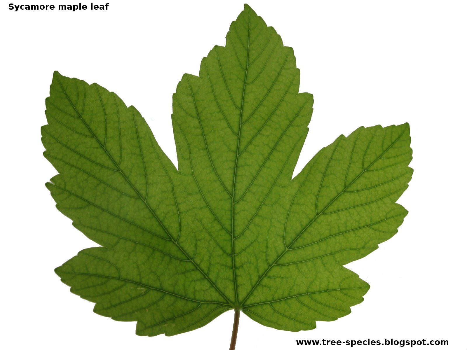 Tree Leaf Images · Sycamore Leaf - Sycamore Tree Leaf PNG