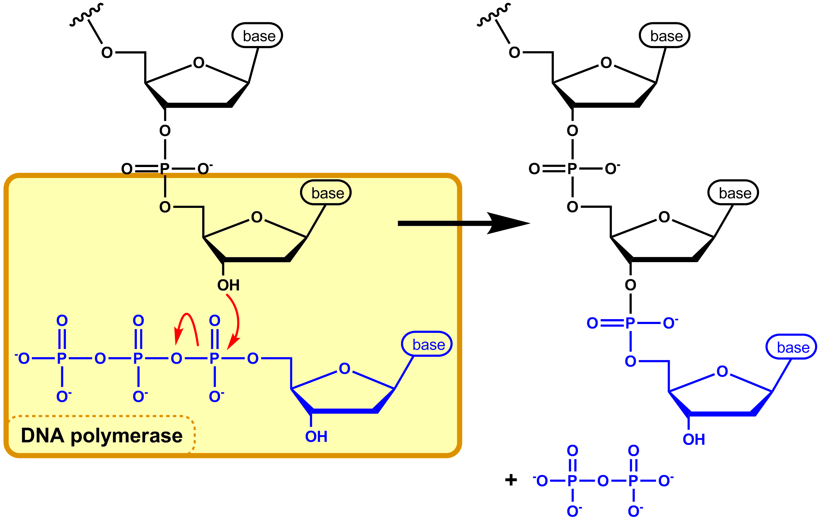 File:DNA synthesis EN.png - Synthesize PNG