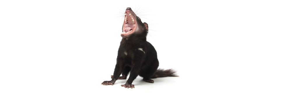 Tasmanian Devil PNG HD - 125701