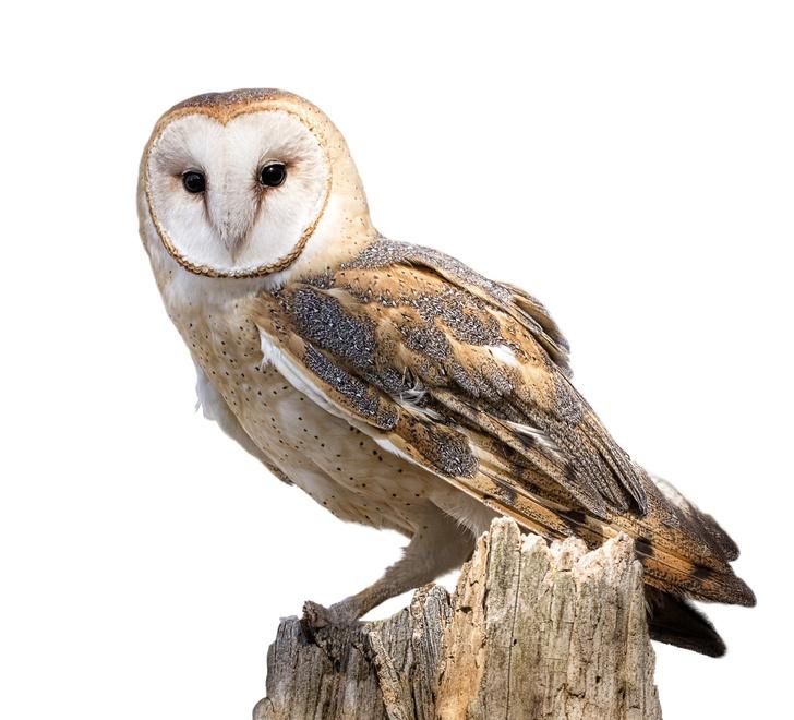 Tawny Owl PNG-PlusPNG.com-728 - Tawny Owl PNG