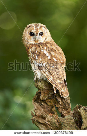 A Tawny Owl sits on a branch (Strix aluco) - Tawny Owl PNG