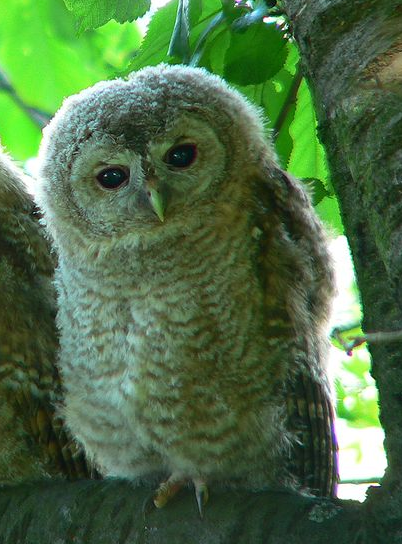 Interesting facts about the Tawny Owl - Tawny Owl PNG