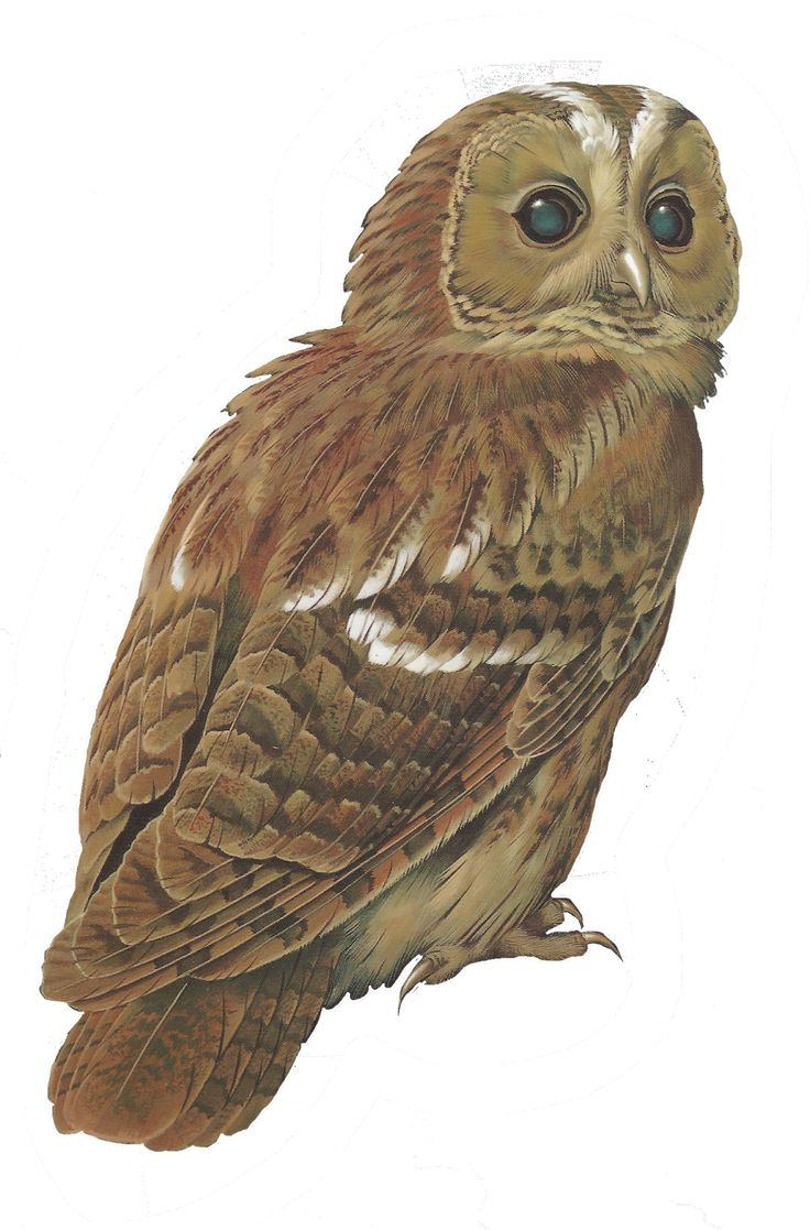 mes tubes oiseaux - Page 5 - Tawny Owl PNG