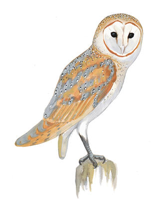 pin Horned Owl clipart tawny owl #11 - Tawny Owl PNG