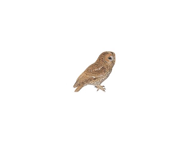 Tawny Owl - Tawny Owl PNG