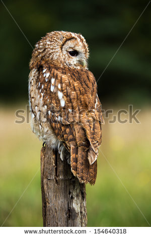 Tawny owl on fence post against a dark background of blurred trees/Tawny Owl / - Tawny Owl PNG