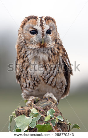 Tawny Owl perched on ivy covered stump/Tawny Owl/Tawny Owl (Strix Aluco - Tawny Owl PNG