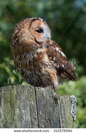 Tawny Owl perched on old gatepost/Tawny Owl/Tawny Owl (strix aluco) - Tawny Owl PNG