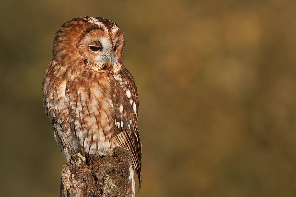 Tawny owl PNG for site - Tawny Owl PNG