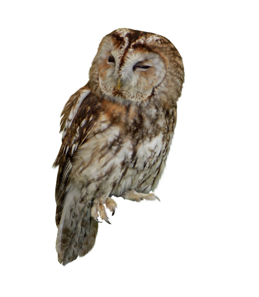 Tawny Owl PNG Stock PlusPng.com by AledJonesDigitalArt PlusPng.com  - Tawny Owl PNG